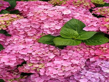 Pink Hydrangea Blooms With Foliage Free JPG