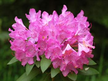 Pink Rhododendron Free JPG