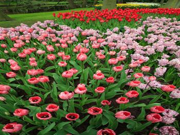 Pink Tulips Free JPG