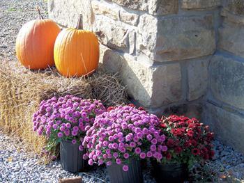 Pumpkins And Mums Free JPG