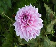 Purple-pink Flower Bloom