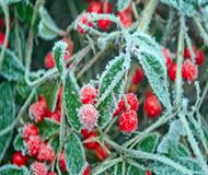 Red Berries – Frost