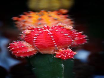 Red Blooming Cactus Free JPG