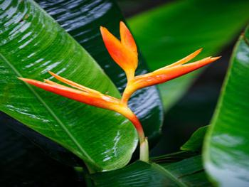 Red Heliconia Free JPG