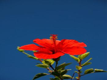 Red Hibiscus Free JPG