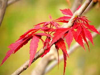 Red Maple Tree Free JPG