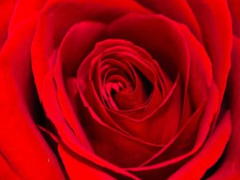 Red Rose – Background Free JPG