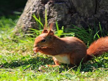 Red Squirrel Free JPG