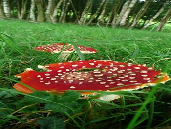 Red Toadstool Free JPG