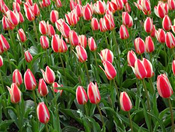 Red White Tulips Free JPG