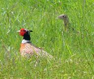 Ring Necked Pheasant