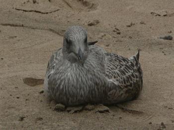 Sitting Seagull Free JPG