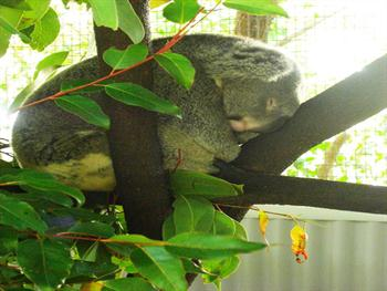 Sleeping Koala Free JPG