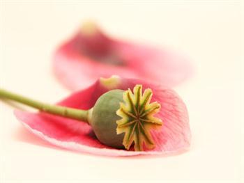 Spring Poppy Free JPG