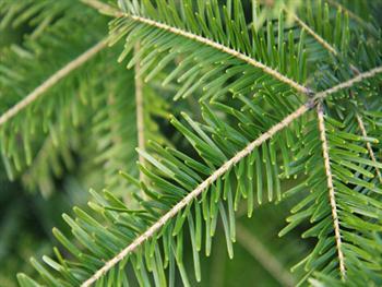 Spruce Tree Branch Free JPG