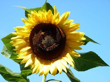 Sunflower In The Sky Free JPG
