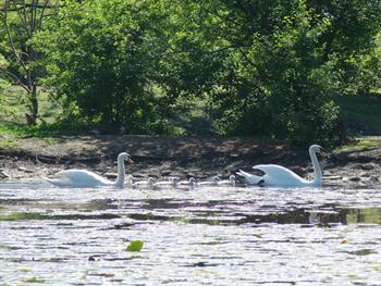 Swan Family Outing Free JPG