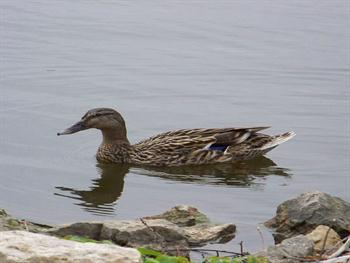 Swimming Female Mallard Duck Free JPG