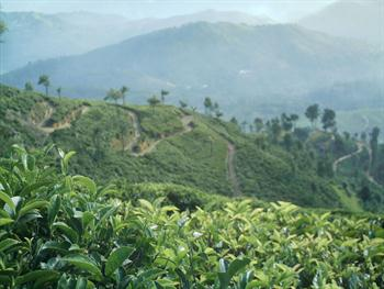 Tea Estate Free JPG
