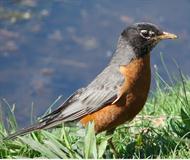 The Lil Robin