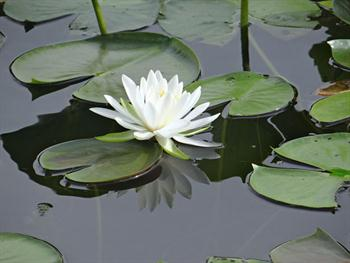 The Lone Lily Free JPG