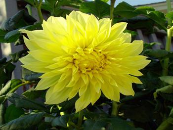 The Yellow Mum Free JPG