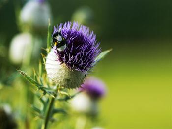 Thistle With A Bumblebee Free JPG
