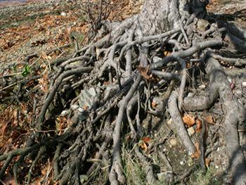 Tree Roots Free JPG