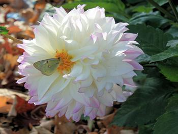 White Flower With Small Butterfly Free JPG