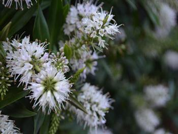 White Flowers On Shrubs Free JPG