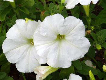 White Petunia With Effects Free JPG