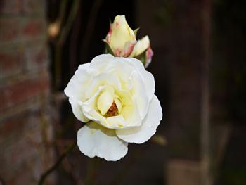 White Roses And Buds Free JPG