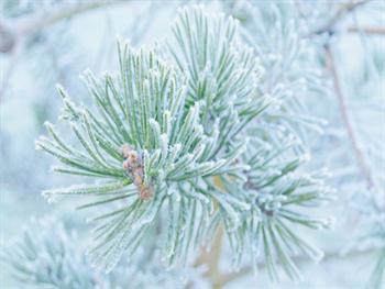 Winter Pine Free JPG