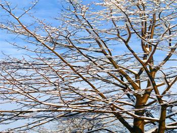 Winter Tree And Blue Sky Free JPG
