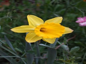 Yellow Daffodil Bloom Free JPG