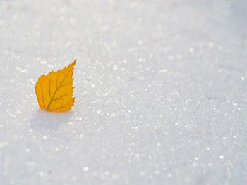 Yellow Leaf On The Snow Free JPG