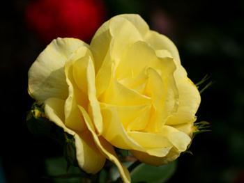 Yellow Sunlit Rose Free JPG