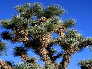 Yucca Free JPG