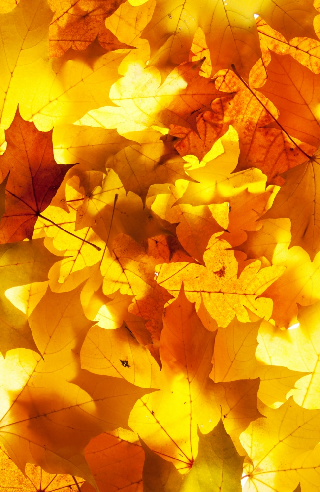 Autumn Maple Leaf Chinese Restaurant picture
