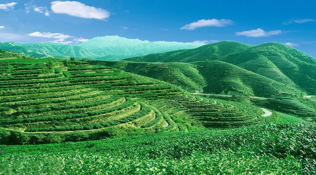 Green tea garden photo material